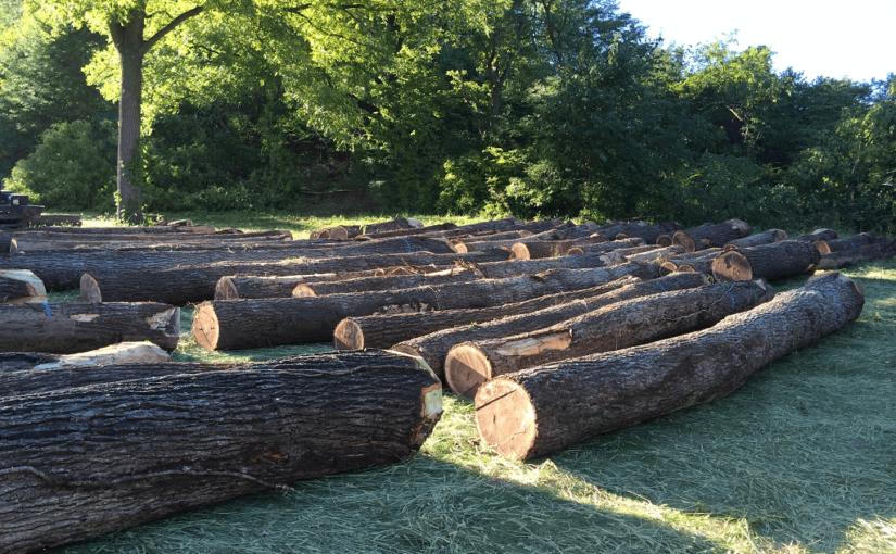 Sell Walnut Trees WI, sell walnut trees, sell walnut timber, sell walnut logs, walnut tree buyers, walnut timber buyers, walnut log buyers, walnut wood buyers, sell walnut wood, loggers, logging company, logging contractors