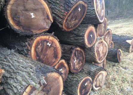 Sell Walnut Trees MO, sell walnut trees, sell walnut timber, sell walnut logs, walnut tree buyers, walnut timber buyers, walnut log buyers, walnut wood buyers, sell walnut wood, loggers, logging company, logging contractors