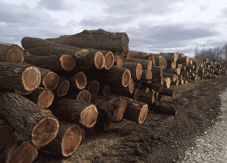 Piles of Walnut Logs