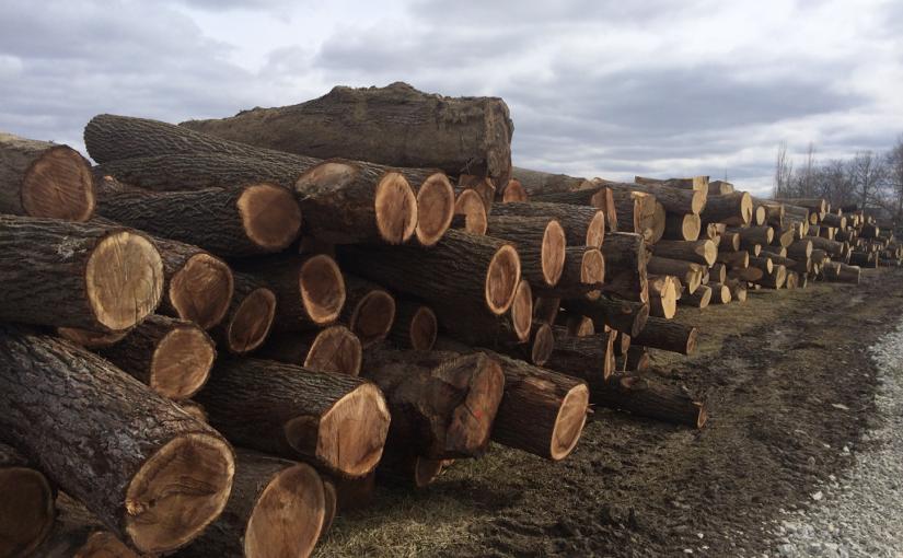 Piles of Cut Walnut Trees