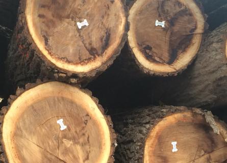 Black Walnut Tree Buyers IA - Welcome to Walnut Timber Buyers