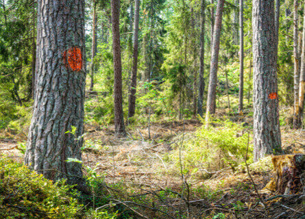 Trees Marked for Logging - IL Logging Companies - Walnut Timber Buyers