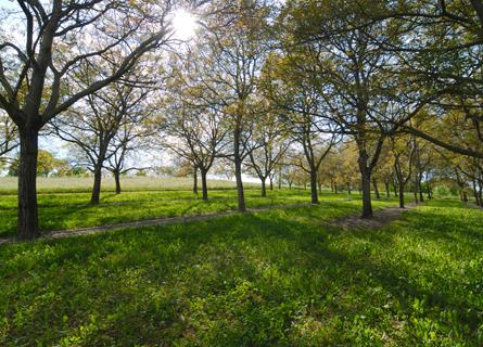 Sell Walnut Trees Illinois, sell walnut trees, sell trees, sell timber, sell walnut timber, walnut timber buyers, timber buyers, tree buyers, logging companies, loggers