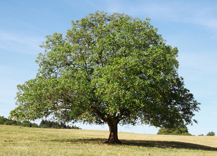 Sell Walnut Trees Illinois, sell walnut trees, sell walnut timber, walnut trees, walnut timber, walnut timber buyers, timber buyers, loggers, logging company