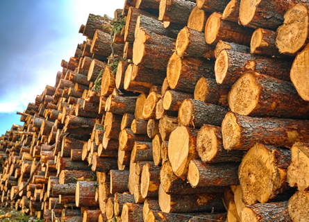 Walnut Timber Buyers IL, sell walnut trees, sell trees, sell timber, sell walnut timber, walnut timber buyers, timber buyers, loggers, logging company