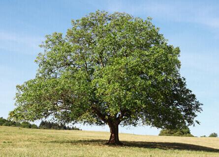 Timber Buyers, timber buyer, walnut timber buyer, white oak timber buyer, walnut timber buyers, white oak timber buyers, tree removal, selling cut trees, timber sales, walnut logs, white oak logs, loggers, logging, logging services