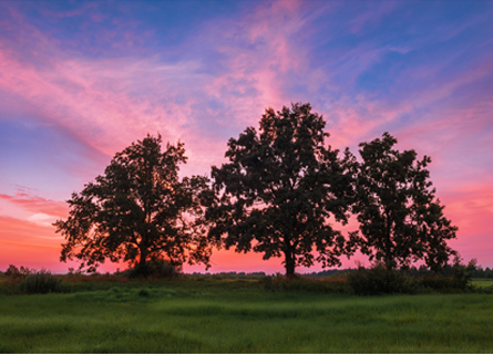 white oak trees in IL in a large field during sunset