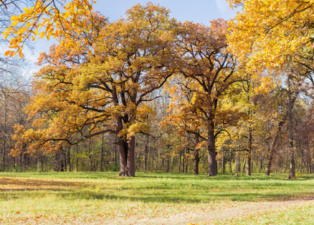 White oak trees in IL in a clearing during the fall time