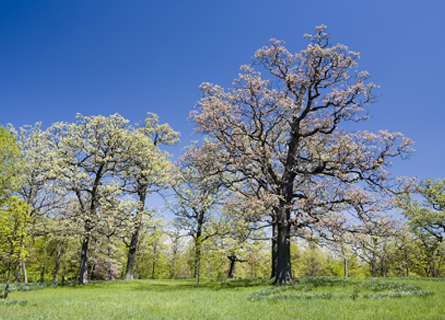 White oak trees in IL in an open field during the spring time