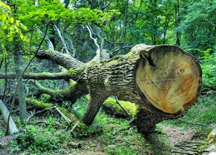 A cut down White Oak Tree in Illinois