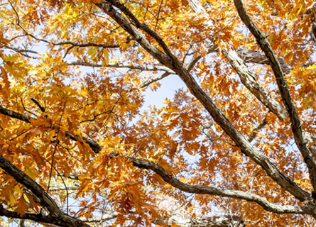 A closeup of the branches of a white oak tree in IL during the fall time