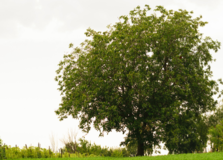 Walnut tree in IL in a large field with a clear sky in the background