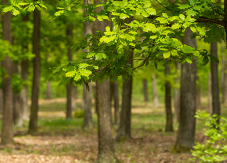 A wooded area of oak trees in IL during the spring time