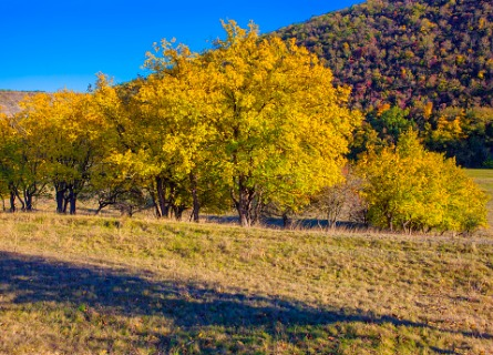 large golden walnut trees in Missouri