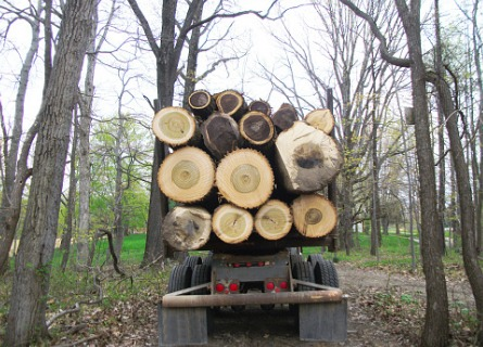 Walnut Log Buyers in Illinois transporting logs out of a forest on a truck