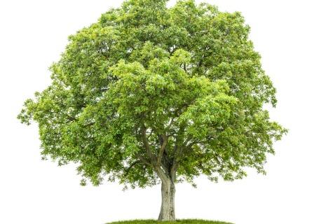 Black Walnut Timber Tree in Missouri