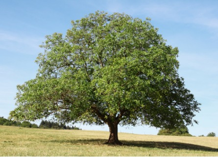 Large walnut tree in a field in Illinois