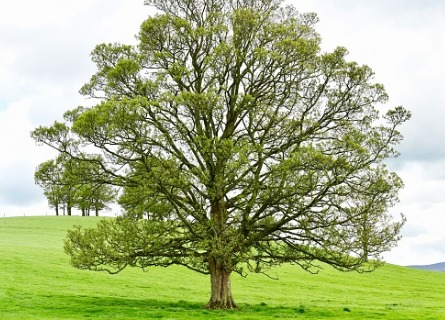 Large walnut tree on a green hill in Illinois