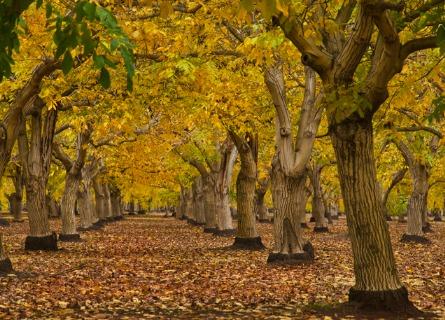 Farm of Black Walnut trees in MO