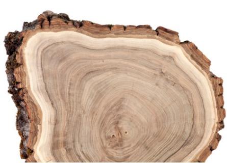 A closeup of cut Black Walnut Timber in Missouri