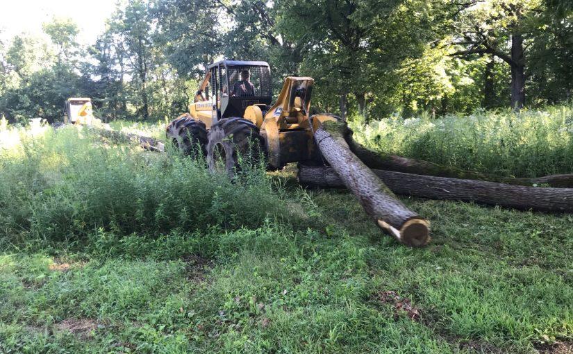 Photo of Walnut Timber Buyers cutting down a walnut tree.