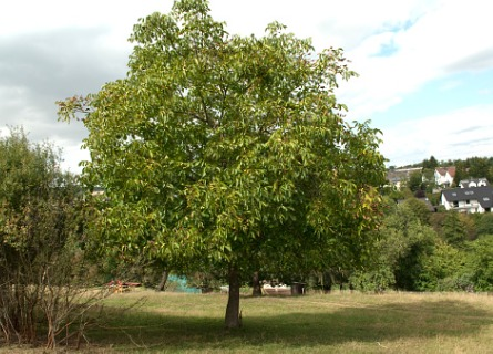 A walnut tree ready to be harvested by a Logging Contractor for Rock Island IL