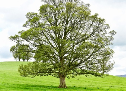 A walnut tree in Moline IL