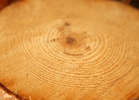 The inside of a log of walnut wood