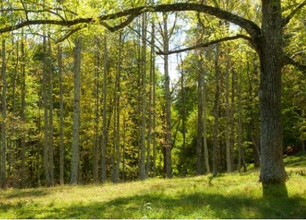 Walnut tree ready for sale in Rock Island IL