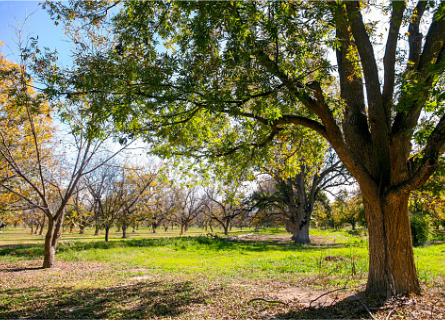 A grove of walnut trees to be cut down by Loggers in MO