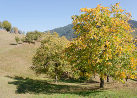 Walnut Trees ready to be cut and sold by Timber Buyers for Missouri