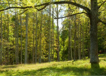 A grove of trees ready to be cut down by Loggers in Missouri