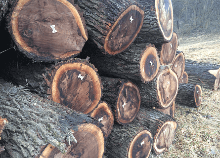 Logging Contractor cut down trees in Cass County IL